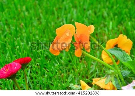 orange flowers in the grass - stock photo