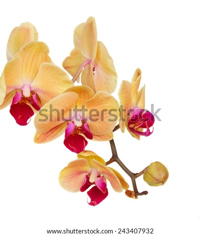 orange fresh  orchid branch with flowers and buds isolated on white background - stock photo