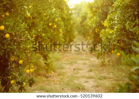 Orange garden with ripening orange fruits on the trees with green leaves, natural and food background