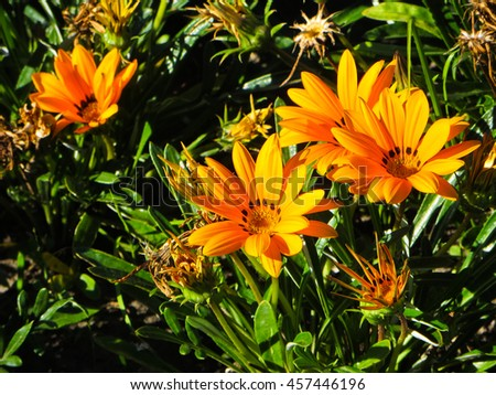 Orange gazania daisy on flowerbed
