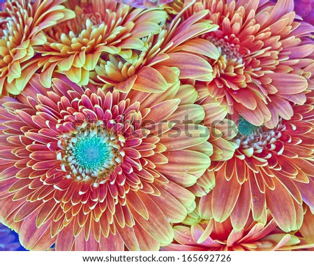 orange gerber daisies bouquet closeup, natural background - stock photo