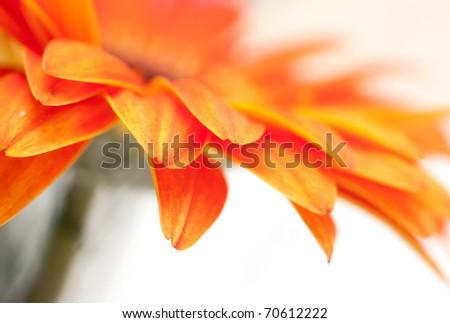 Orange Gerber flower closeup, natural background - stock photo