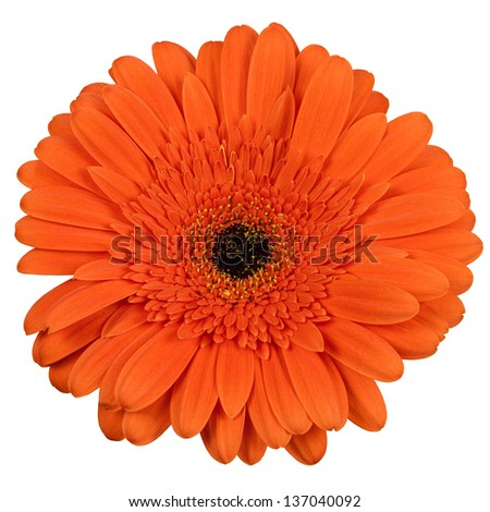 Orange gerber flower isolated on white background - stock photo