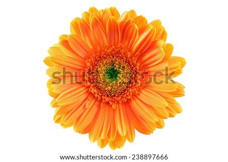 orange gerber white pattern - stock photo