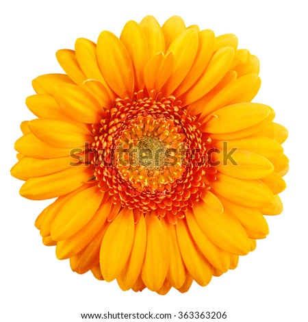 Orange gerbera close up.