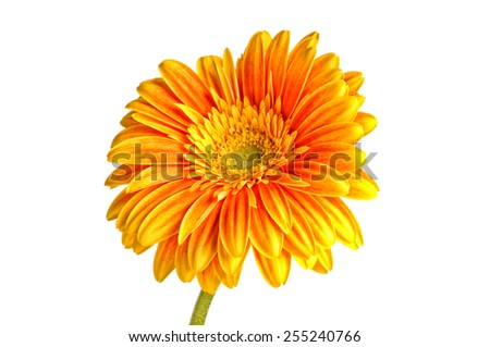 Orange gerbera daisy flower isolated on a white background. Copy space - stock photo