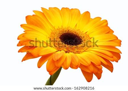 Orange gerbera flower. Isolated.                                     - stock photo