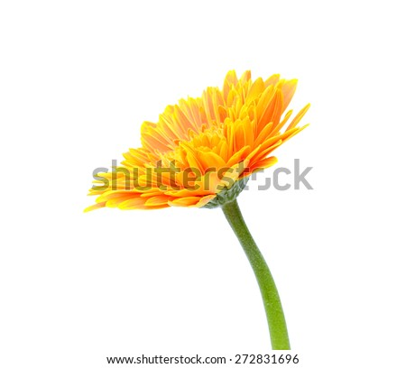 Orange gerbera flower isolated on a white background - stock photo