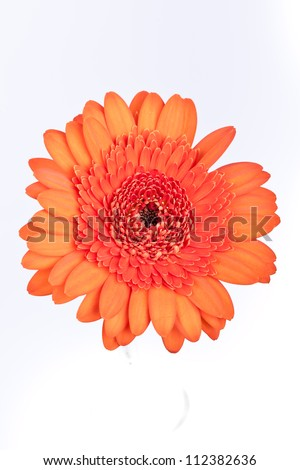 orange gerbera flower on a white background