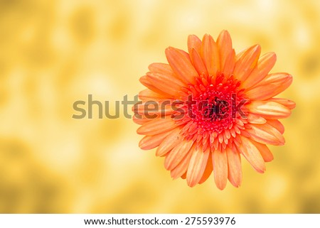 orange gerbera flower , top view , blur background - stock photo