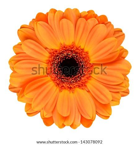 Orange Gerbera Flower with Black Center. Macro of Flower Isolated on White Background - stock photo