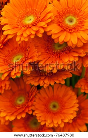 Orange gerbera flowers - stock photo