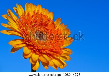 Orange gerbera flowers in the near term. - stock photo