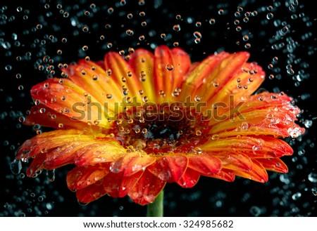 Orange gerbera with the rain drops - stock photo