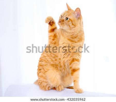 orange ginger cat pet - stock photo