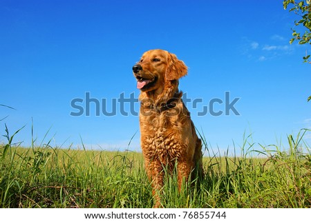 orange golden retriever dog portrait outdoors on green meadow over blue sky - stock photo