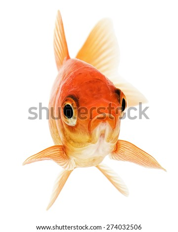 Orange Goldfish Isolated on White Background  - stock photo