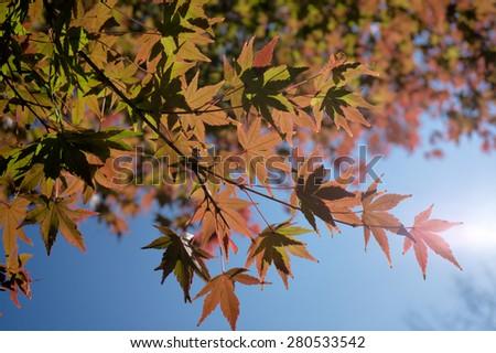 Orange green maple leaf and sunlight. - stock photo