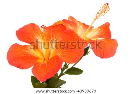 Orange hibiscus isoleted on white - stock photo