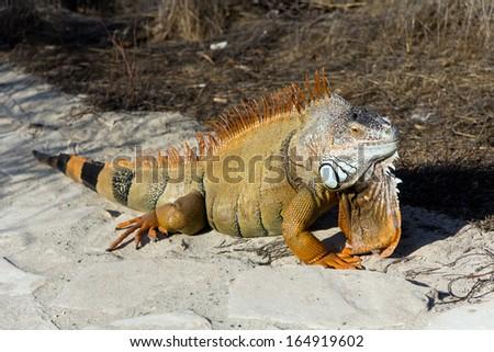 Orange Iguana on the Sand - stock photo