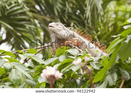Orange iguana sleep on the wood branch. - stock photo