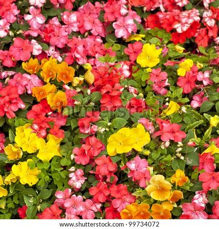 Orange impatiens and yellow pansies in a summer flower garden. - stock photo