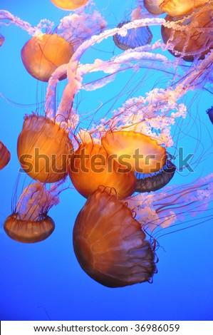 Orange Jellyfish - stock photo