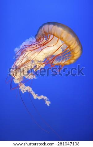 Orange jellyfish (Chrysaora fuscescens or Pacific sea nettle) in - stock photo