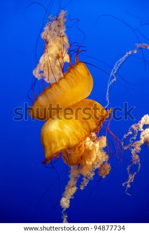 Orange jellyfish in an aquarium with blue water background - stock photo