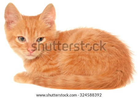 Orange kitten lays on a side view isolated.
