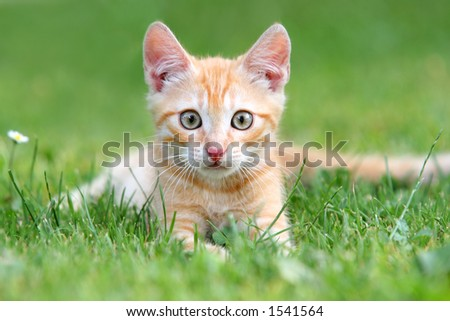 Orange kitten portrait - stock photo
