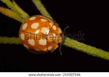 Orange lady beetle with white spots - stock photo