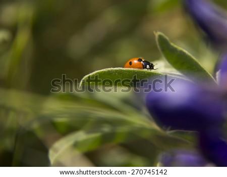 Orange Ladybug  on a grass - Spring - stock photo