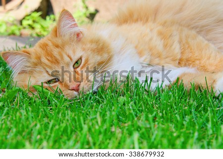 orange lazy cat sleeping on green grass