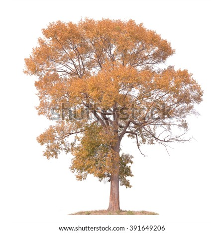 Orange leave of big tree isolated on white background. This has clipping path. - stock photo