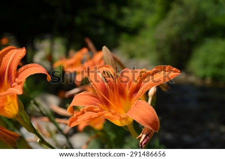 Orange lilly plants along the creek. Shown up close in the summer.