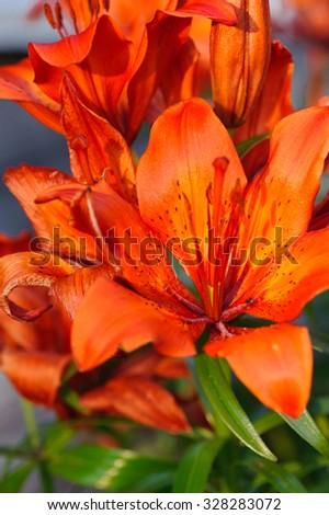 Orange lily closeup - stock photo