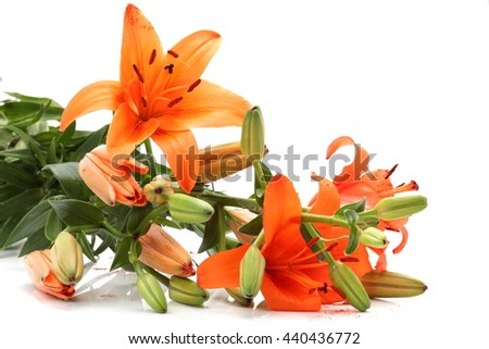 orange lily flower with buds isolated on a white background. Flowers resembles a starfish - stock photo