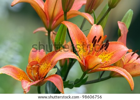 Tiger-lily Stock Images, Royalty-Free Images & Vectors ...