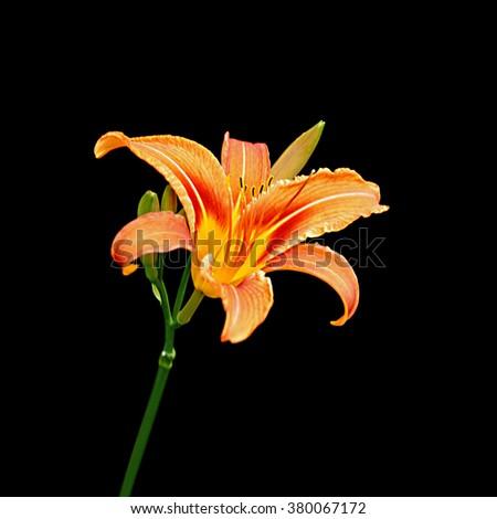 Orange lily isolated on a black background - stock photo