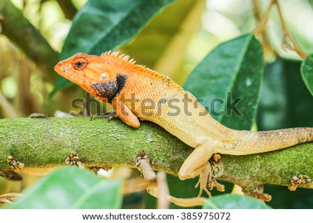 orange lizard sitting on durian tree in the natural habitat.