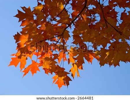 Orange maple leaves on tree