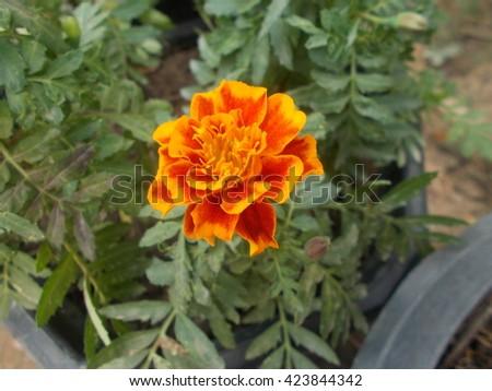 Orange Marigold.  - stock photo