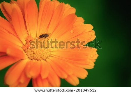 Orange marigold flower with water droplets on the petals close up. Fly sits on blooming calendula. Shallow depth of field. Selective focus. The effect of soft focus. - stock photo