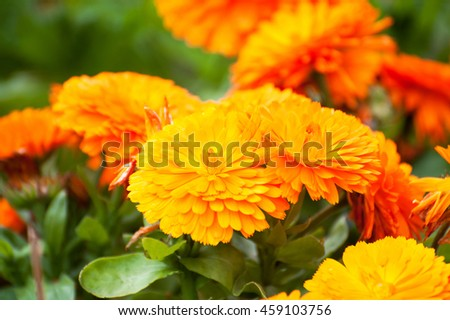 Orange Marigold Flowers (tagetes) Summer Ireland