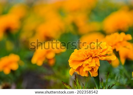Orange marigold in flowerbed in summer city park. - stock photo