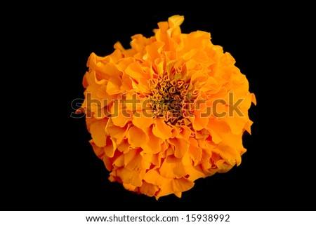 Orange marigold on black ground - stock photo