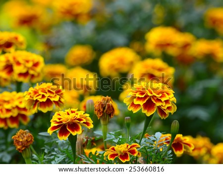 orange marigold or tagetes flowers, used for good luck on indian festivals - stock photo