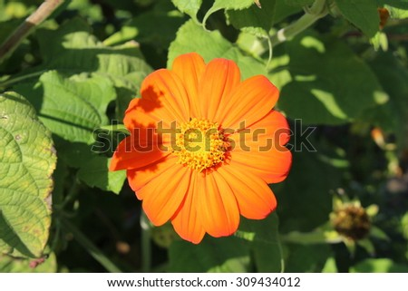 """Orange """"Mexican Sunflower"""" in Munich, Germany. Its scientific name is """"Tithonia Rotundifolia Torch"""" (syn. Tithonia Speciosa). - stock photo"""