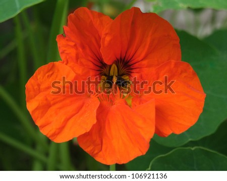 Orange Nasturtium Flower - stock photo